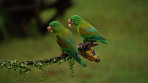 orange-chinned-parrots-1586951_1280